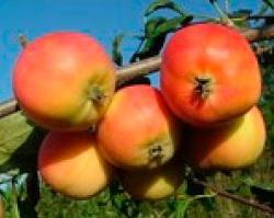 Амурское урожайное