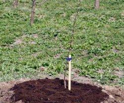 Выращивание яблонь по всем правилам!