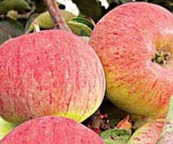 Орловская яблоня