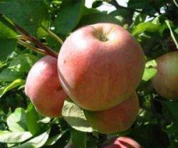 Обрезка яблонь в вопросах и ответах