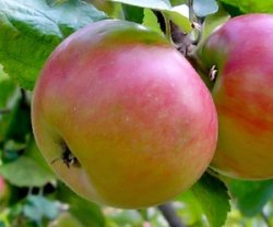 Летние карликовые яблони для Подмосковья