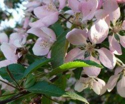 Период вегетации яблони от и до