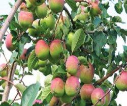 Уральские сорта яблонь
