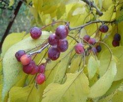 Яблоня вишнеплодная