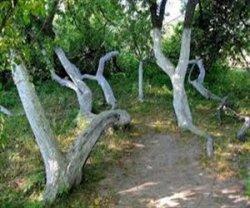 Сумская яблоня самая уникальная на Украине и в мире