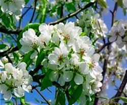 Яблоня садовая полезна для организма