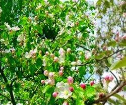 Яблони средней полосы России