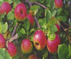 Лесная яблоня: кулинария и лечебная сила