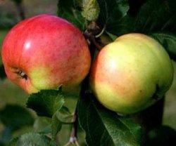 Почему надо садить на даче яблоню сорта «Розовый налив»?