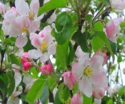 Как бороться с вредителями яблонь весной?