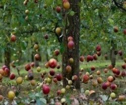 Почему кора может отслаиваться от яблони?