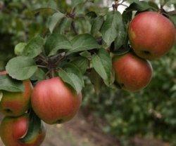 А можно ли заставить яблоню плодоносить?