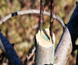 Прививка яблонь ранней весной