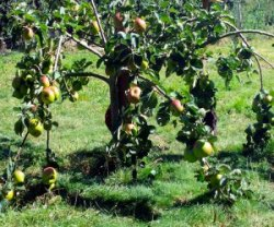 Тип подвоя яблони