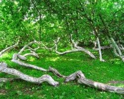 Яблоня-колония в Сумской области