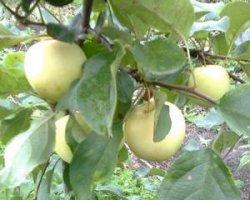 Сорт яблони Юнга