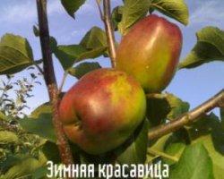 Сорт яблони Зимняя красавица