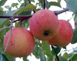 Яблоня Подарок садоводам
