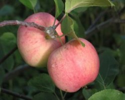 Сорт яблони Папироянтарное