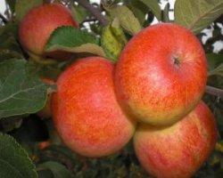Сорт яблони Орлинка