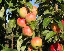 Сорт яблони Медок