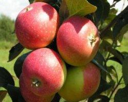 Сорт яблони Елена