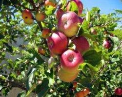 Сорт яблони Брянское