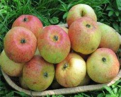 Сорт яблони Сладкая нега