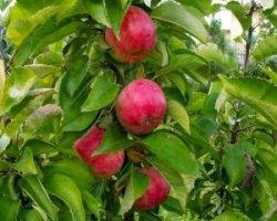 Яблоня сорта Персиянка: описание