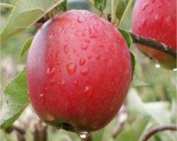 Осенняя яблоня сорта Гала Маст