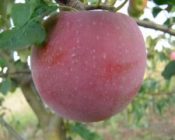 Сорт яблони Антей