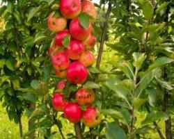 Сорт яблони Валюта (колоновидная)