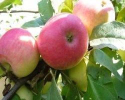 Яблоки сорта Макинтош