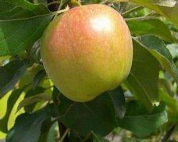 Сорт яблок Уэлси
