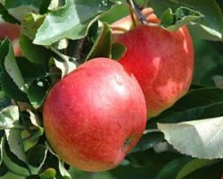Сорт яблок Топаз