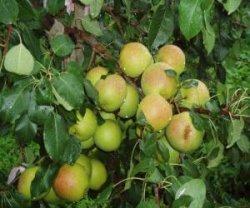 Как появился фрукт яблоко-груша