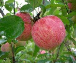 Отличаются ли красные яблоки от зеленых по вкусу