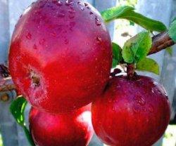 Русские сорта яблок