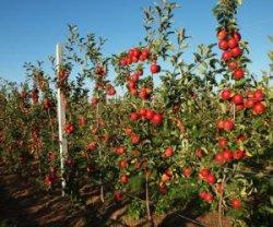 Карликовые виды яблонь