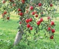 Как черенковать яблоню