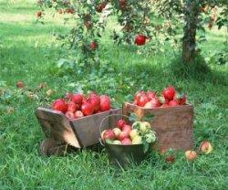 От чего зависит сладость яблок
