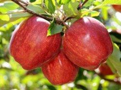 Какое яблоко полезнее: зеленое, красное или желтое?