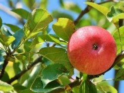 Яблоки для мужчин