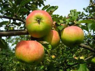 Плюсы и минусы яблони уэлси