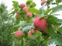 Как получить хороший урожай яблок