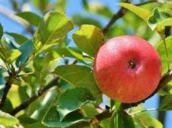 Самые популярные яблоки в России