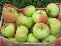 Способы длительного хранения яблок зимой