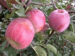 Как бороться с червями в яблоках