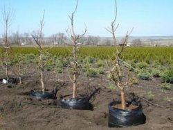 Три правила посадки плодовых деревьев