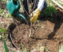 Ошибки при посадке плодовых деревьев весной